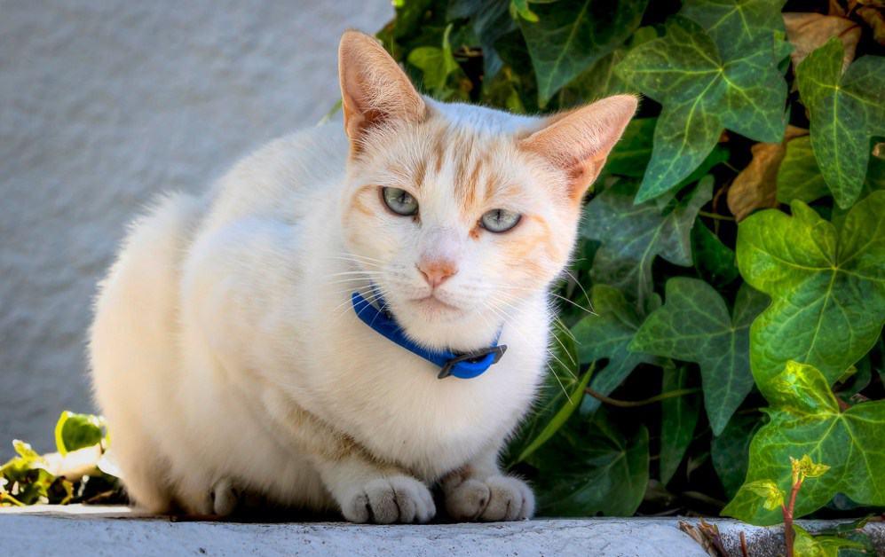 precioso gato blanco con collar